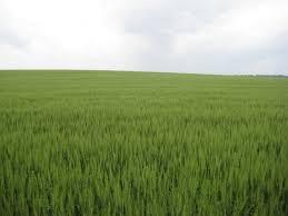 زراعات القمح