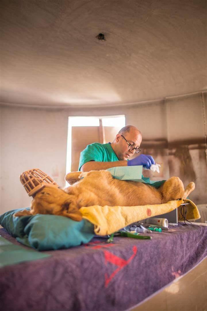 عمليات جراحية لازالة الخصيتن للكلاب الضالة 7
