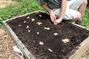 زراعة الزنجبيل