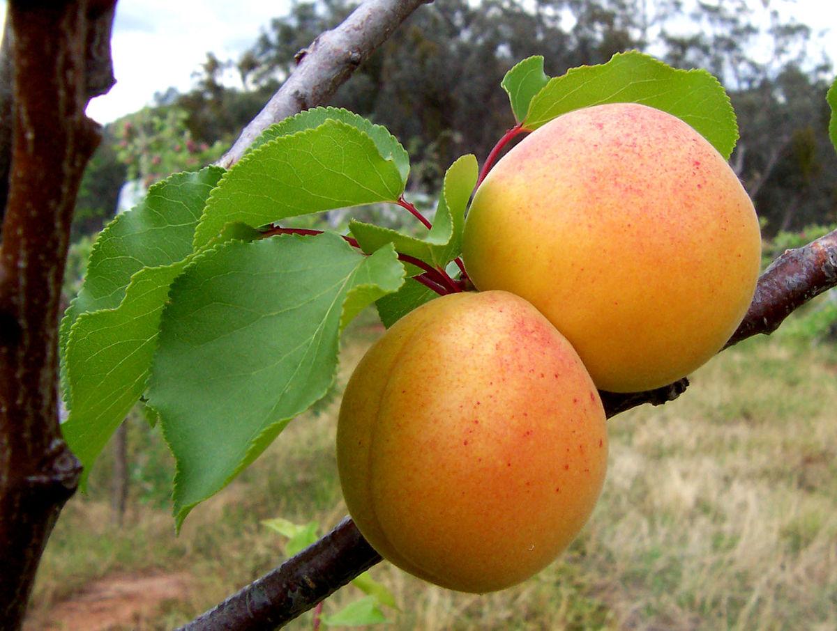 1200px-Apricots