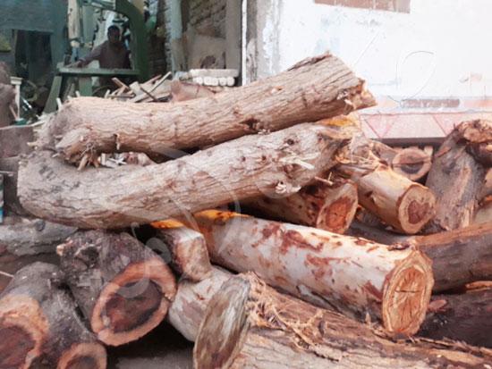 12-أشجار-الكافور-بقنا