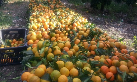 جمع محصول البرتقال