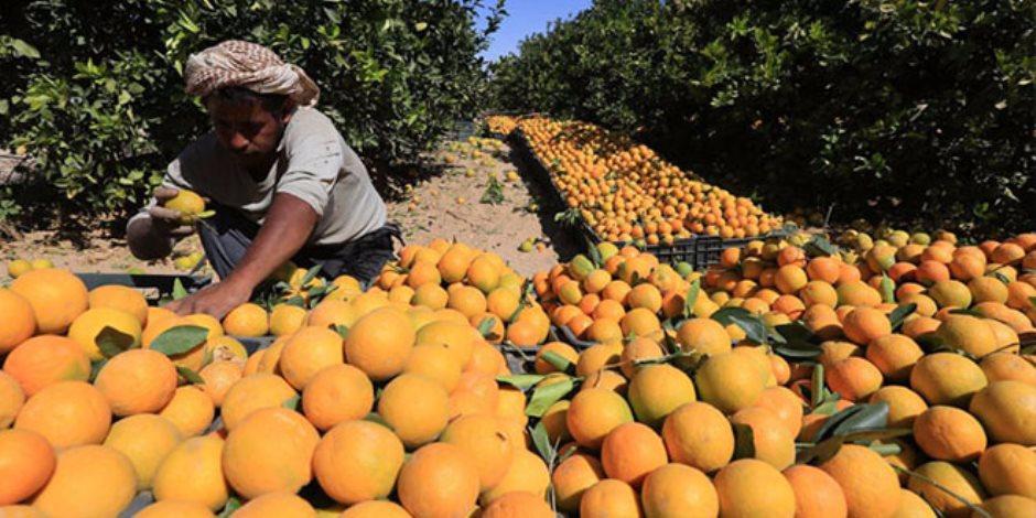 المزارعون جمعوا البرتقال وفى انتظار بيعه وتسويقه