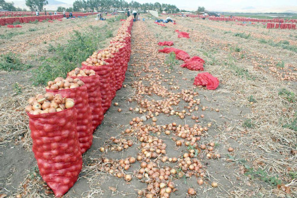 تجميع البصل بعد زراعته
