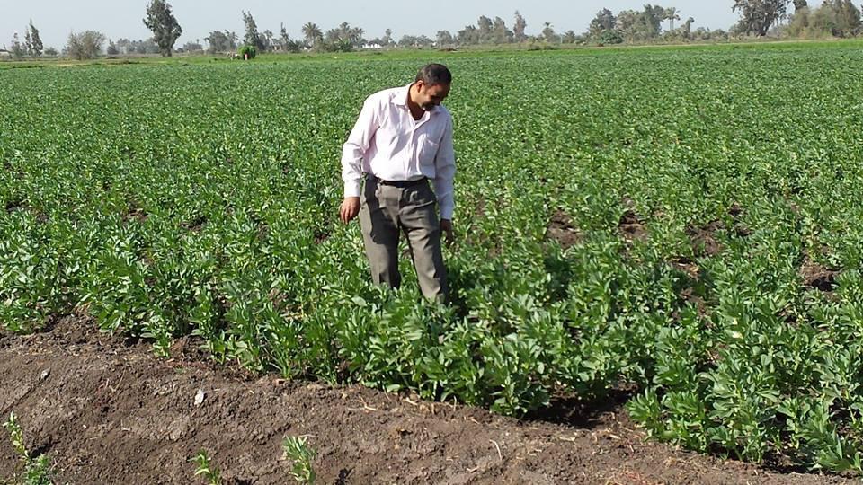 زراعة الفول البلدى