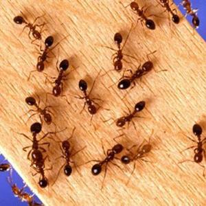 7-tramp-ant