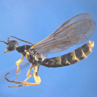 24-wheat-stem-sawfly
