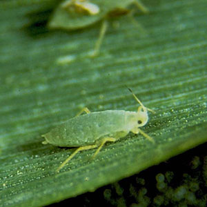 13-russian-wheat-aphid