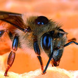 8-mites-bees
