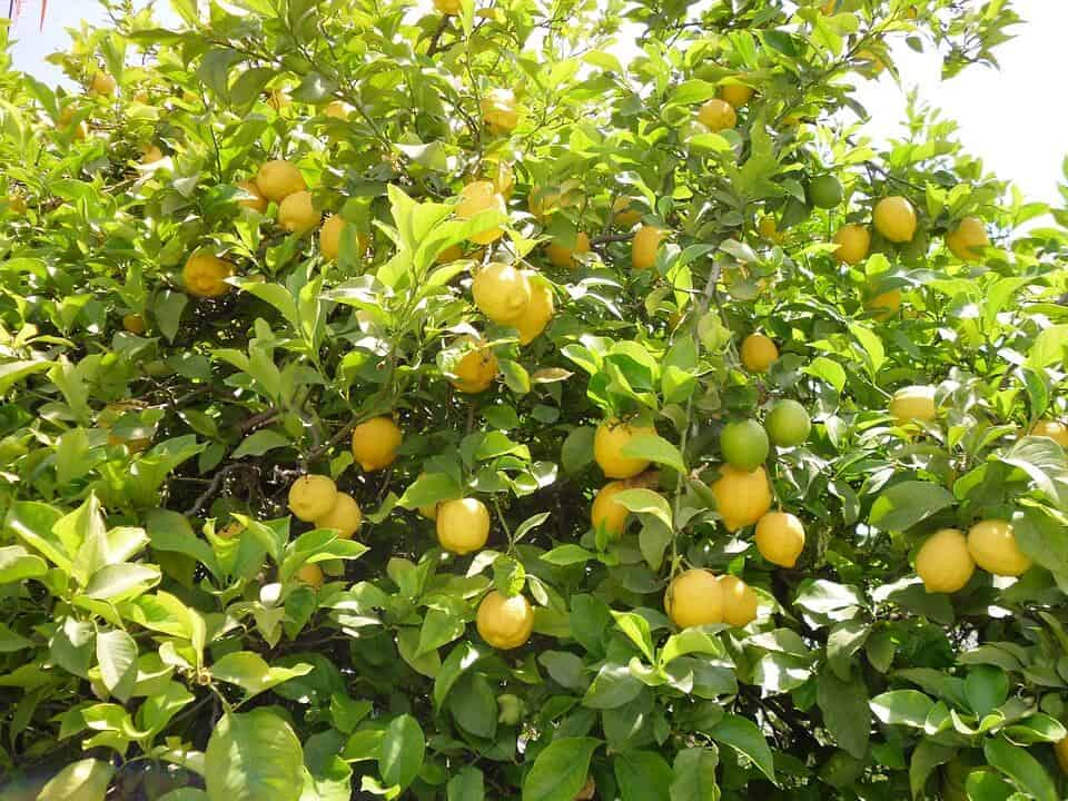 lemon-tree-225907_960_720