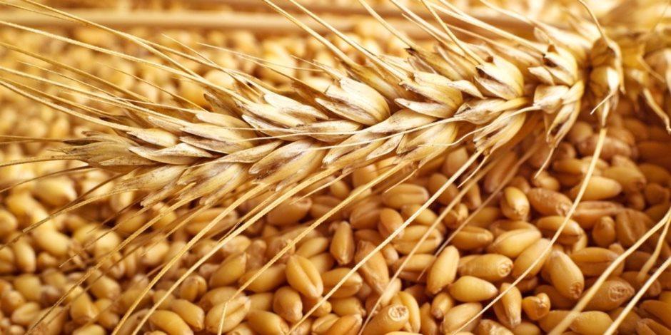 الحكومة تضع 10ضوابط لاستلام القمح من المزارعين