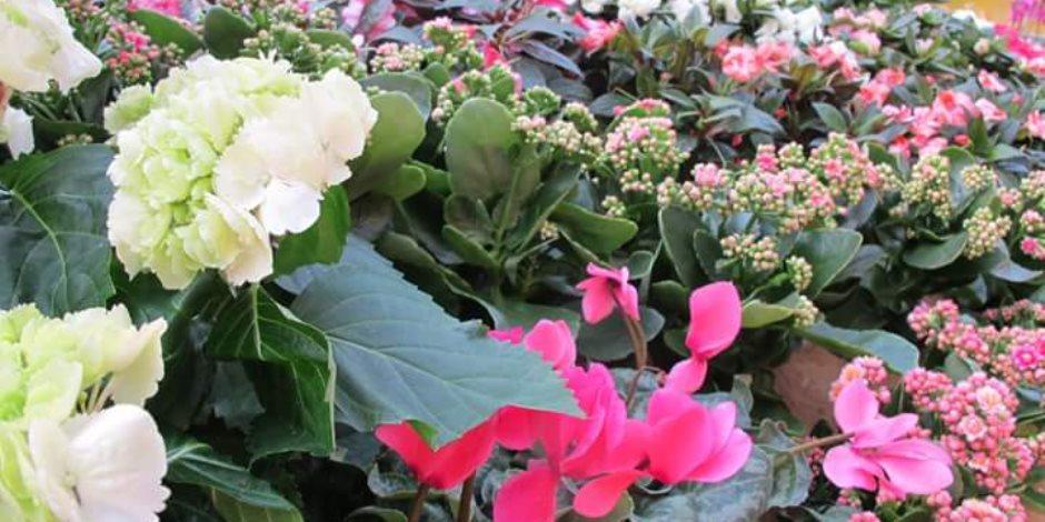 الزهور تكسو معرض «زهور الربيع» بحديقة الأورمان (صور)