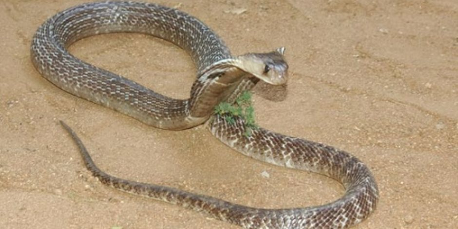 الثعابين شر لابد منه فى الحفاظ على البيئة وتنتشر في الزراعات الصحراوية والقديمة