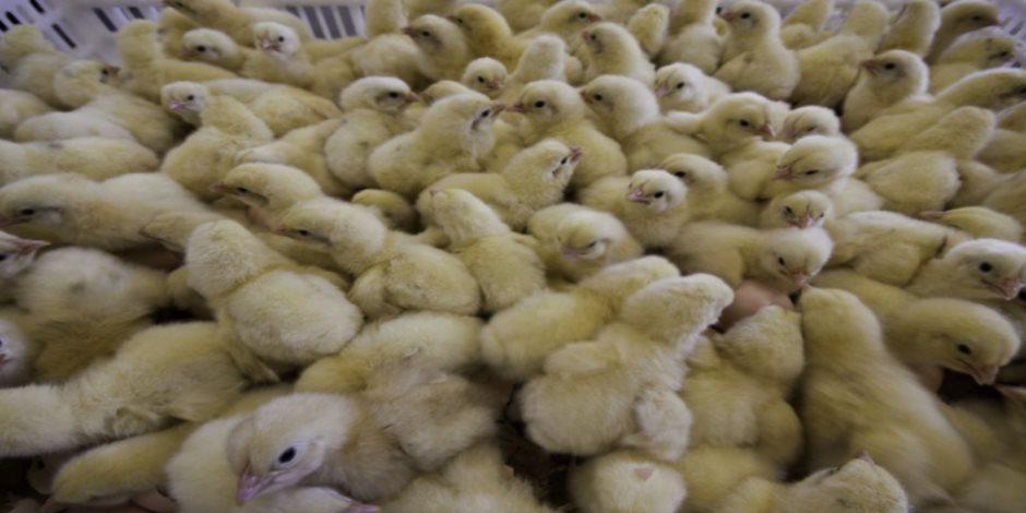 """رئيس """"الثروة الداجنة"""": سعر الكتكوت أصبح يساوى ثمن البيضة لهذا السبب"""