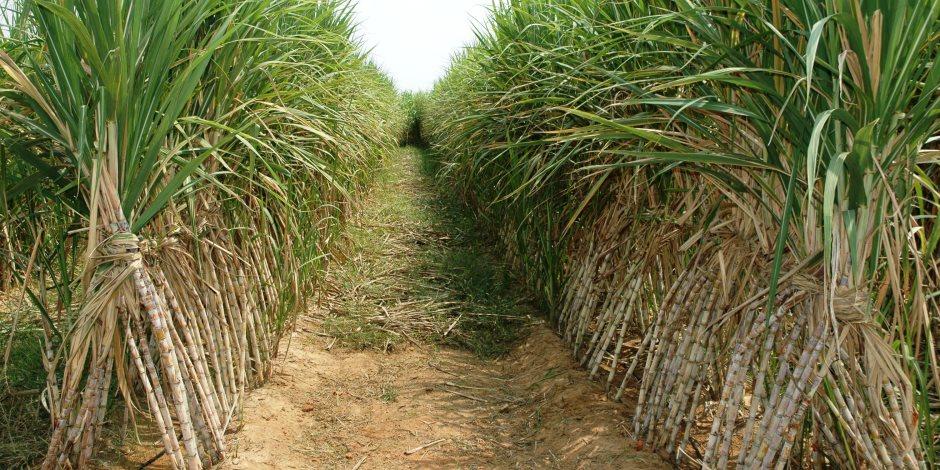 نقيب الفلاحين يطالب الحكومة بتحديد سعر توريد محصول قصب السكر