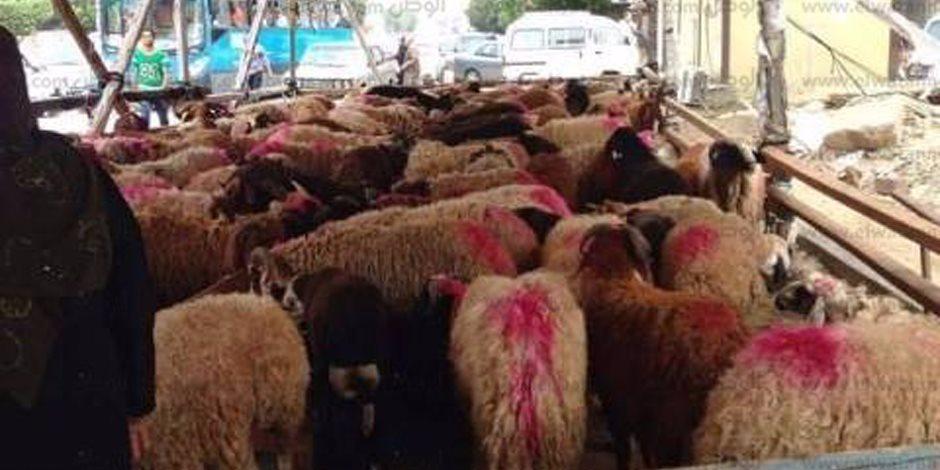 محافظة الجيزة: بدء تنفيذ مشروع تحسين سلالات الماشية بالواحات البحرية