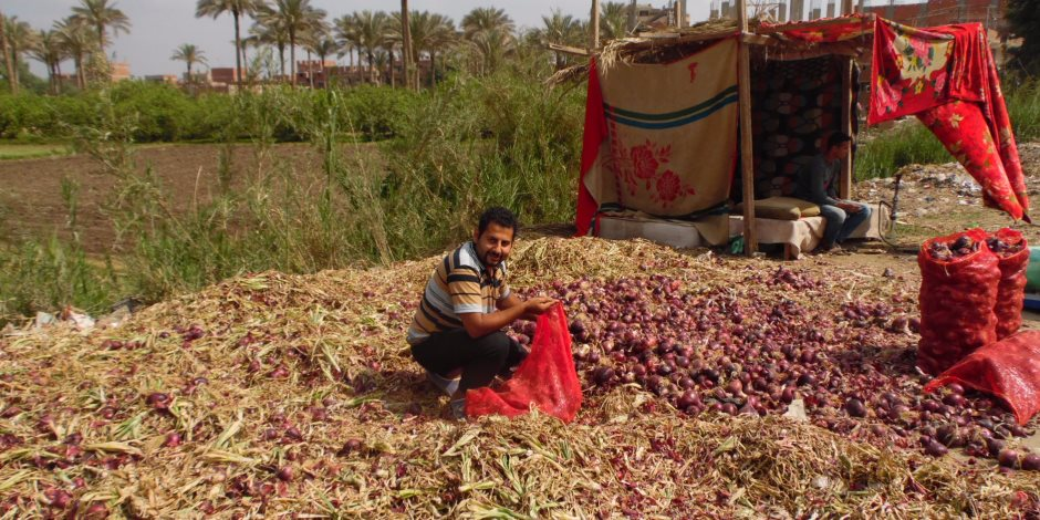 بعد رفض السعودية لشحنة تصدير.. من ينقذ البصل المصري من شركات «الوهم»؟