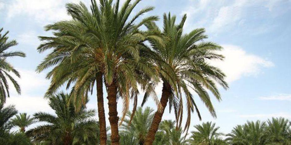 الزراعة تصدر نشرة بالتوصيات الفنية لأشجار النخيل خلال يونيو