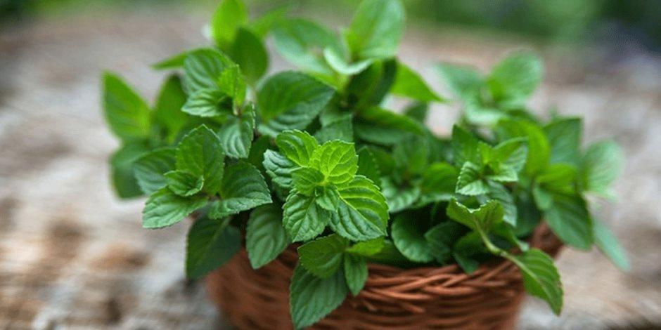 «الهضم البطئ والإجهاد».. أمراض يقضي عليها نبات النعناع
