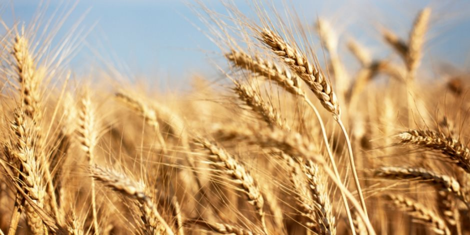 هل تتكرر أزمة فساد القمح؟.. أعضاء مجلس النواب يجيبون