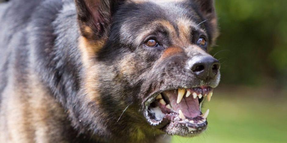 كلب شرس يعقر نجل مستشار بمجلس الدولة أثناء خروجه من نادي طنطا الرياضي