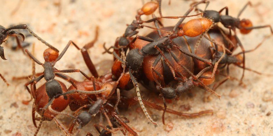 لعنة طبيعية تجتاح الأراضي المحتلة.. النمل الناري يلسع الإسرائيليين ويهدد حياتهم