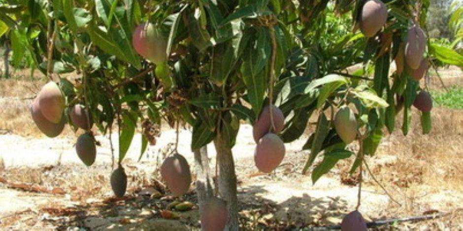 ندوة إرشادية حول أساليب وطرق العناية بأشجار المانجو