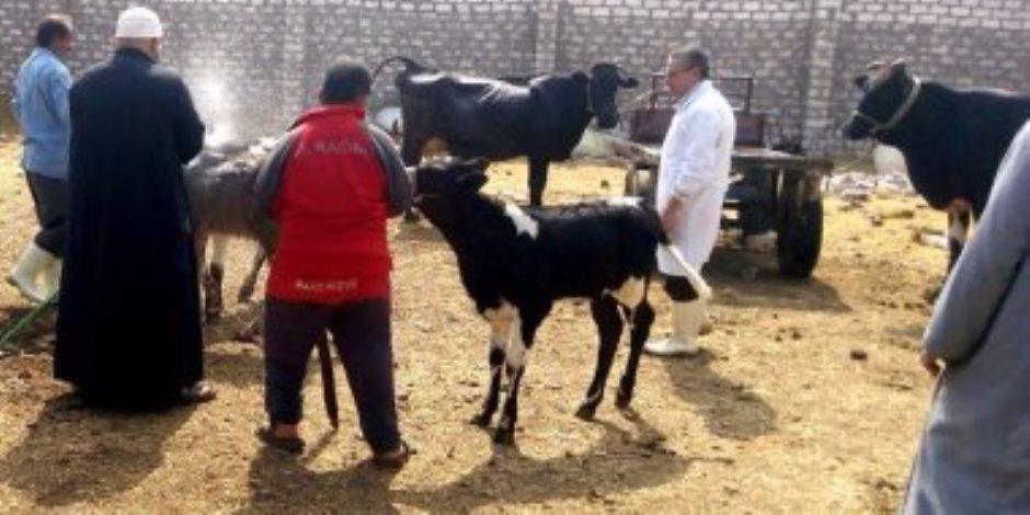 «بيطري دمياط» يحصن 11 ألف رأس ماشية ضد «الجلد العقدي»