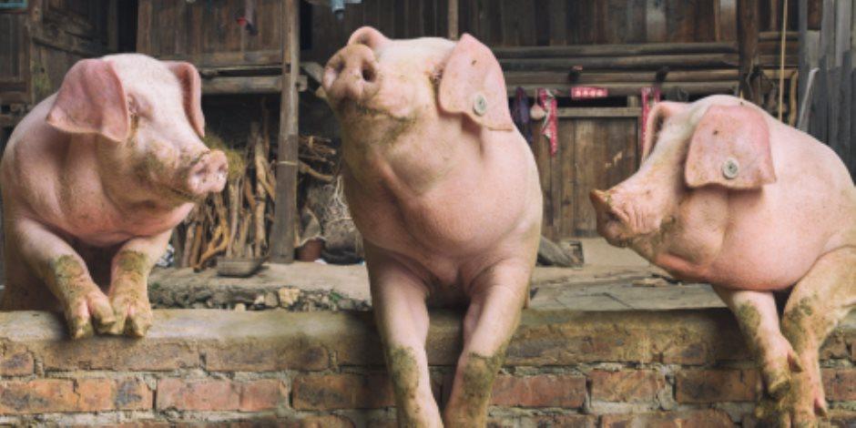"""""""عودة الحلوف""""..نقيب الزبالين يقترح افتتاح مزارع للخنازير..""""وبيطرية الجيزة"""" تكشف قيمتها الغذائية"""