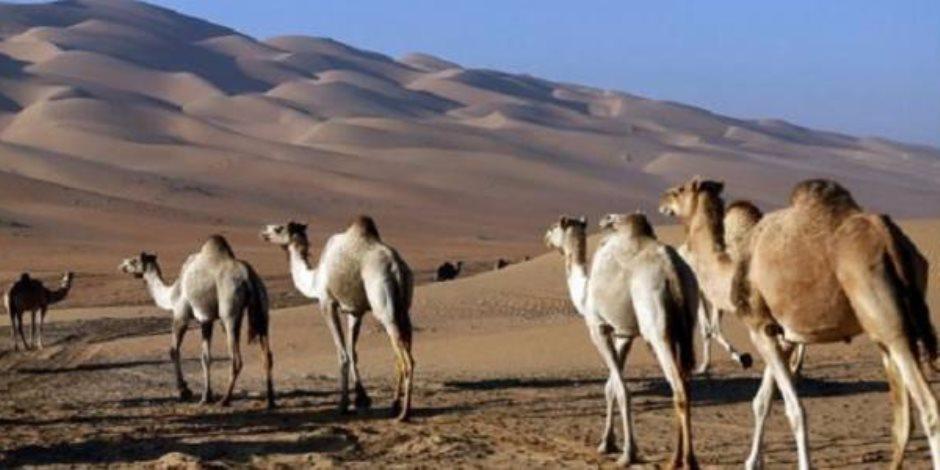 إبل قطر تلحق بسيدها.. سلطنة عمان تعزل سلالاتها عن نظام الحمدين