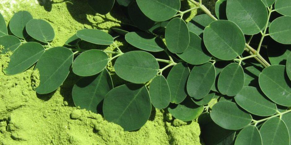 نبات المورينجا صاحب الفوائد الهائلة يغذي الجلد والشعر ومنشط للذاكرة ومضاد للأكسدة