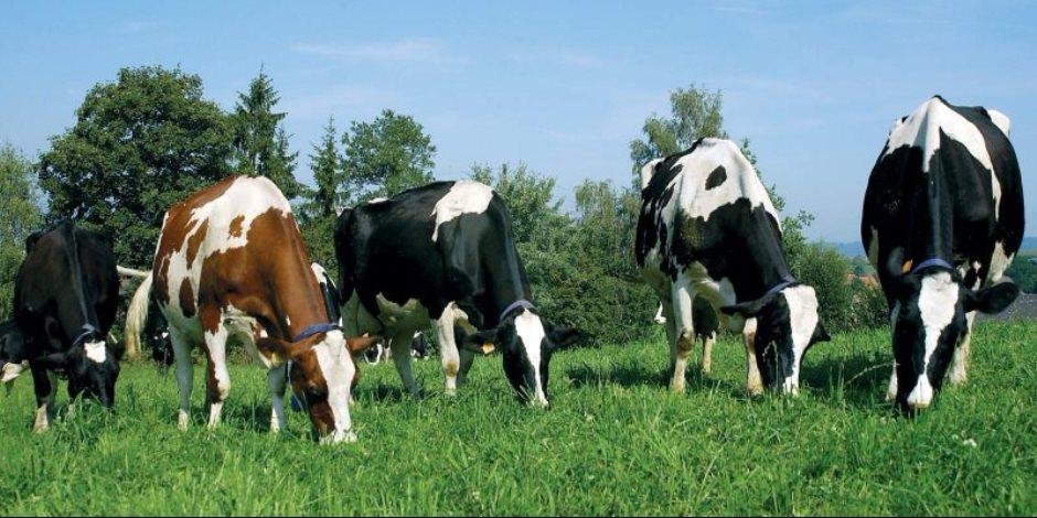 بدخل يومي لا يقل عن 200 جنيه.. خصائص مشروع تربية أبقار الهولشتاين