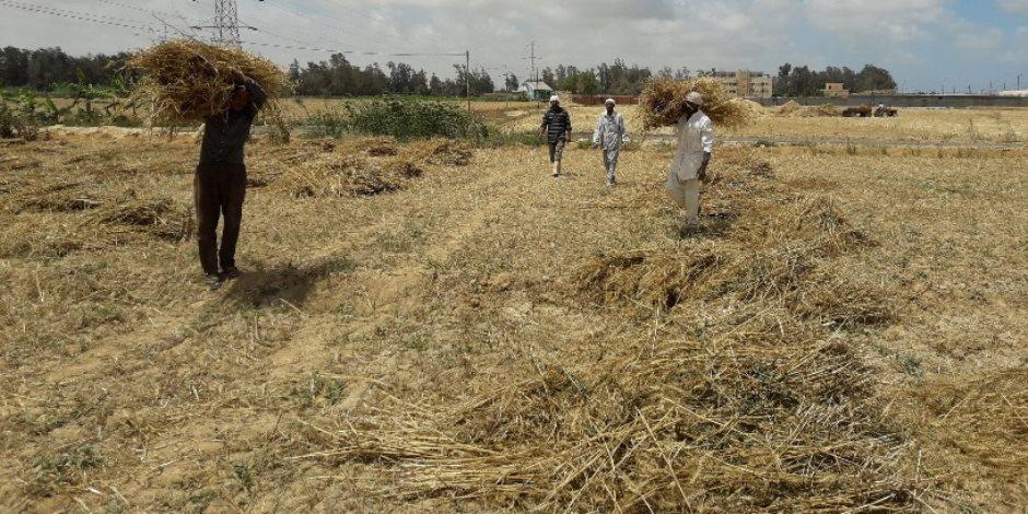 وكيل زراعة الإسكندرية: حصاد القمح يوم عيد الفلاح المصرى (صور)