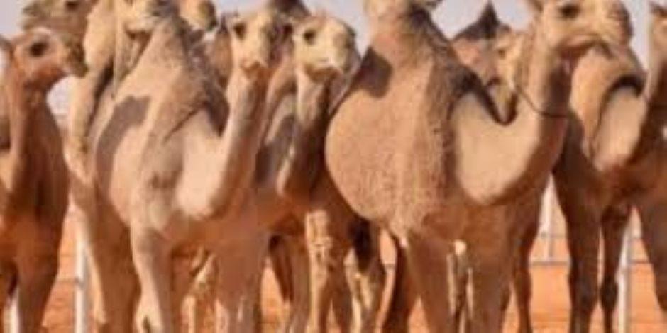 الحجر البيطرى بأبوسمبل يستقبل 3945 رأس إبل قادمة من السودان