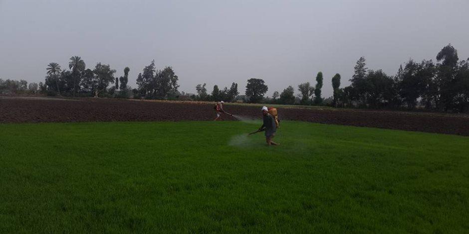 حملات مكثفة تزيل 132 فدان مشاتل أرز مخالفة للدورة الزراعية فى الدقهلية  (صور)