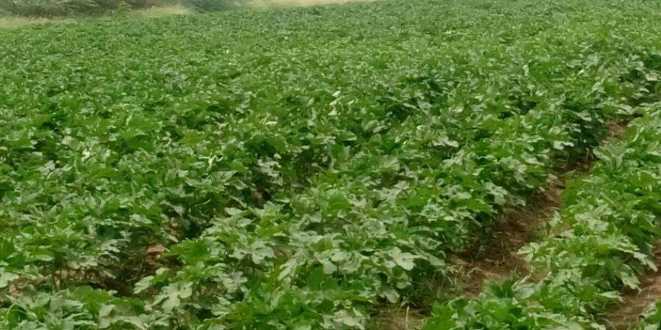 نموذج عقد للزراعة التعاقدية بمحافظة بني سويف.. ومطالبات بالتطبيق على المحاصيل الاستراتيجية
