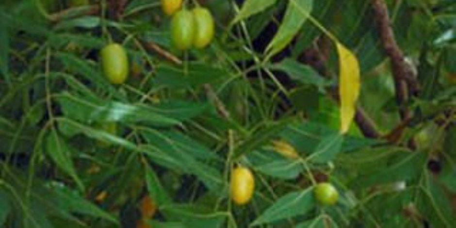 """وزارة الزراعة تنصح بزراعتها..  """"النيم"""" شجرة تحديد النسل ومقاومة الأمراض والحشرات"""