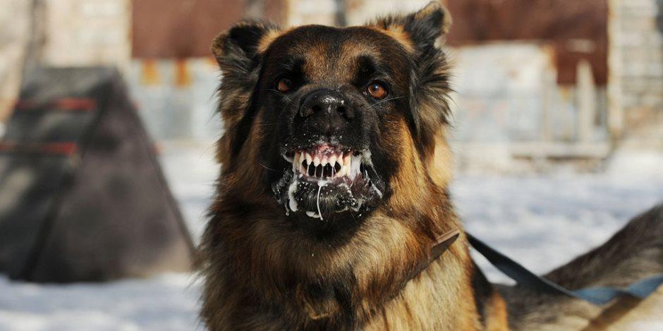 مش بالضرورة «تتسعر» لو كلب عضك.. تعرف على التفاصيل