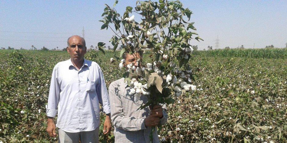 «قطن مصري مستدام».. تفاصيل مبادرة الـ«يونيدو» لإحياء الذهب الأبيض