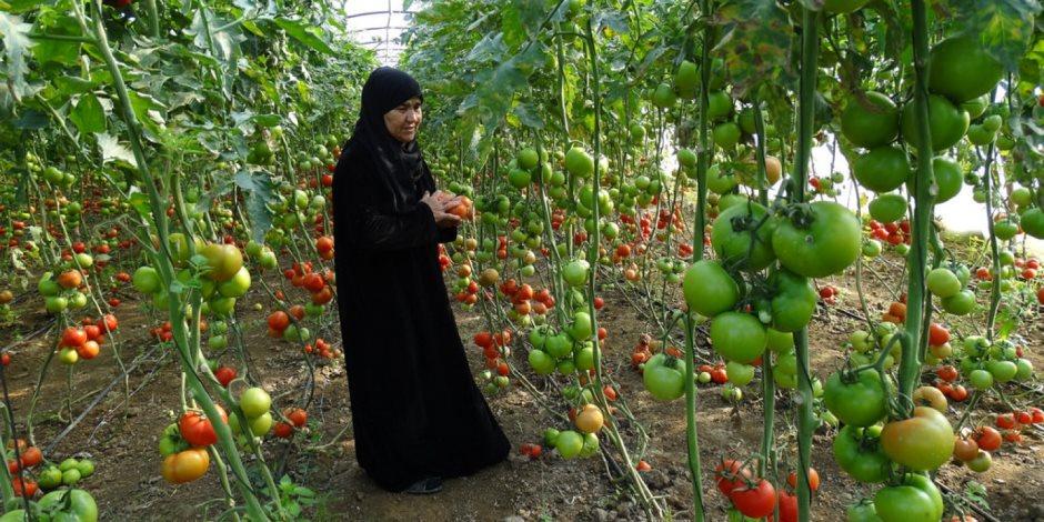 """""""الطماطم المجففة"""" والتصدير للخارج.. التفاصيل الكاملة للمشروع الجديد بجنوب الصعيد"""