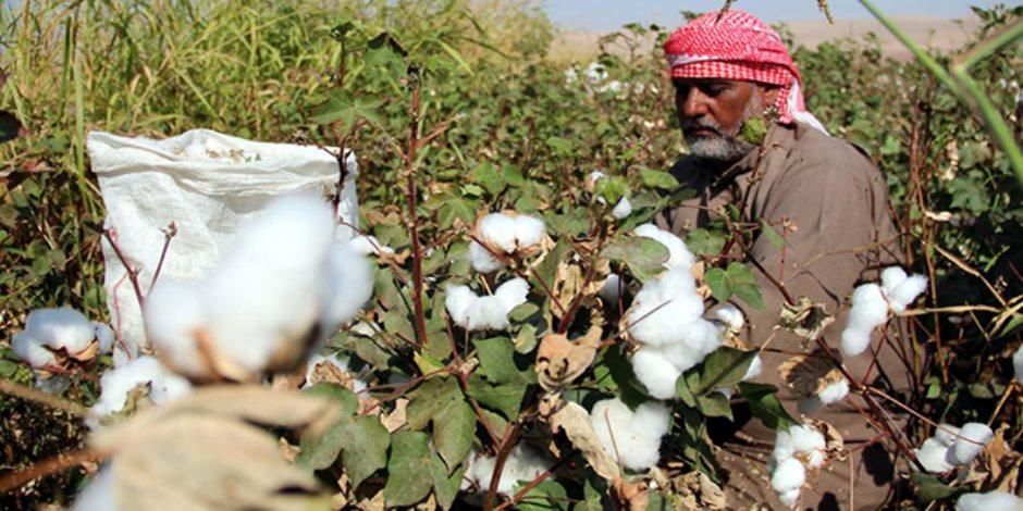 «القطن» ينتظر قرار الحكومة.. من يشتري ذهب مصر الأبيض من الفلاحين؟