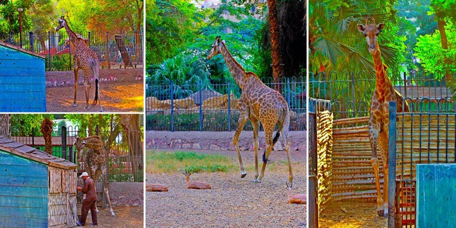 «سونسن».. معاناة زرافة بحديقة حيوان الجيزة مع الحمل (صور)