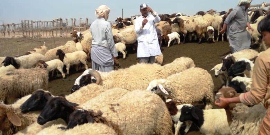 تزامنا مع الحملة القومية لتحصين الماشية.. نرصد إجراءات «الزراعة» ضد الممتنعين