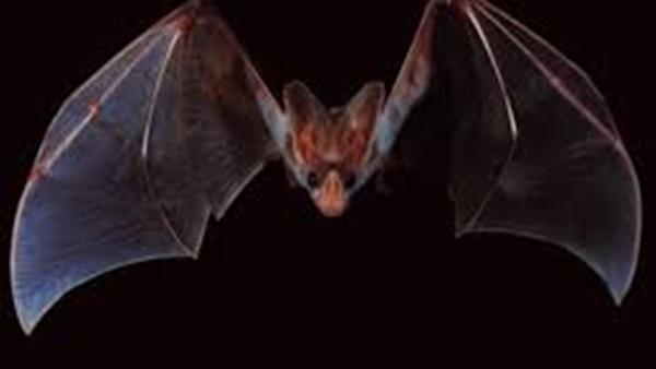 الخفافيش وأنواعها