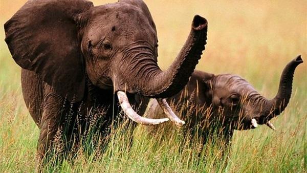 تدريب الفيلة على استخدام حاسة الشم في أستراليا