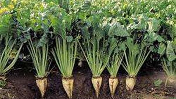 «زراعة المنوفية» تنظم برنامجا إرشاديا لمحصول بنجر السكر