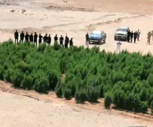 مكافحة المخدرات تدمر 13 فدان بانجو بجنوب سيناء (فيديو)