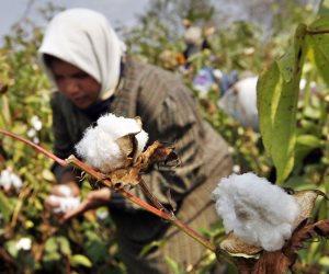 ننشر التقرير الأسبوعي لمديرية الزراعة بكفر الشيخ حول الأسمدة والقطن