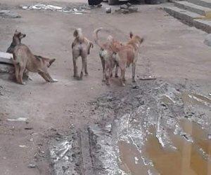 «السم طلع فشنك».. الكلاب الضالة تَستنشق «طُعم» الأحياء وتَمشي