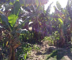 """""""منعا للإصابة بالأمراض"""".. إرشادات زراعة الموز في الأراضي الجديدة"""